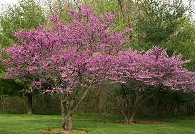 Photograph - Missouri Redbuds 5 by David Dunham