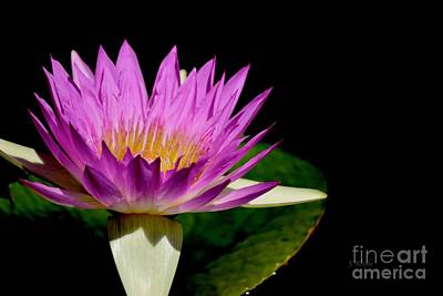 Photograph - Missouri Water Lily by Jeannie Rhode