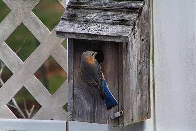 Photograph - Missus Bluebird by Kathryn Meyer