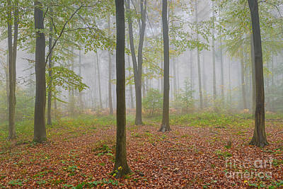 Gold-filled Photograph - Mist Filled Beech Woodland by Richard Thomas