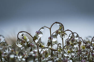 Photograph - Mist On Saxifrage Flowers by Robert Potts