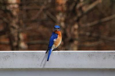 Photograph - Mister Bluebird 1 by Kathryn Meyer