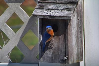 Photograph - Mister Bluebird 2 by Kathryn Meyer