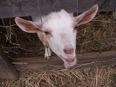 Photograph - Mister Goat Says Bah by Nancy Griswold