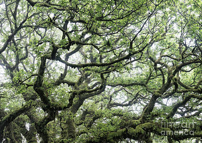 Photograph - Misty Ancient Oak by Tim Gainey
