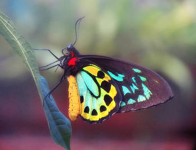 Photograph - Misty Birdwing Butterfly by MTBobbins Photography