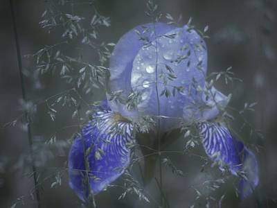Photograph - Misty Blue Iris by Barbara St Jean