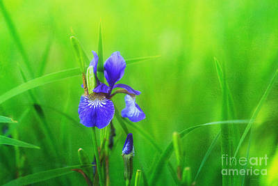 Beve Brown-clark Photograph - Misty Iris by Beve Brown-Clark Photography