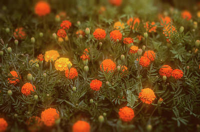 Photograph - Misty Marigolds by John Brink