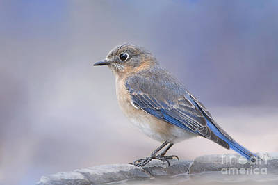 Bluebird Of Happiness Photograph - Misty Morning Bluebird by Bonnie Barry