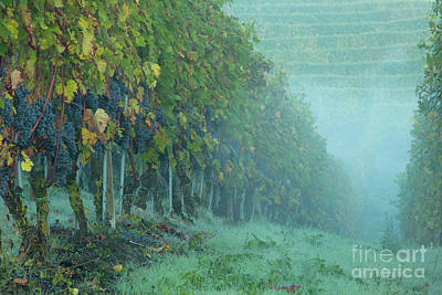 Grapevine Photograph - Misty Morning In The Vineyard by Brian Jannsen