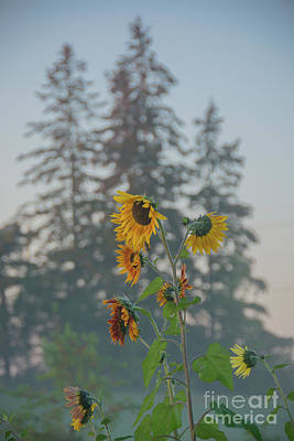 Photograph - Misty Morning Sunflowers by Cheryl Baxter