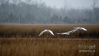 Misty Mute Swans Soaring South Jersey Wetlands Art Print by Diana Wind
