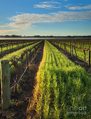 Morning Mist Photograph - Misty Vineyard Morning by Mike Dawson