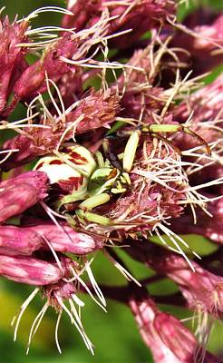 Photograph - Misumenoides Formosipes by Joshua Bales