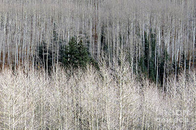Photograph - Mixed Forest by Frank Townsley