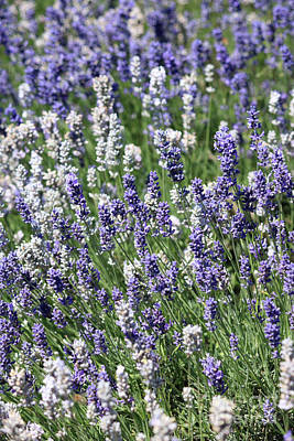 Photograph - Mixed Lavender by Julia Gavin