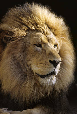 Photograph - Mm-2-6, Lion, Front Head Shot by Rebecca Grambo
