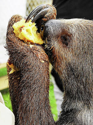 Photograph - Mo The Sloth Eating A Nectarine by Bob Slitzan