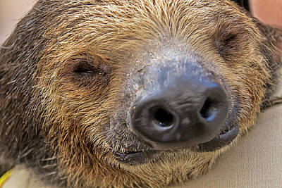 Photograph - Mo The Sloth Portrait by Bob Slitzan
