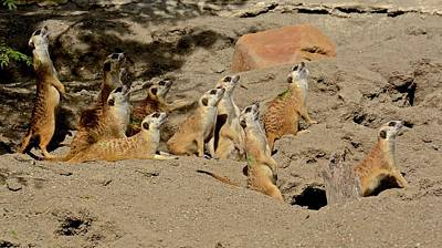 Photograph - Mob Of Meerkats by Carol Bradley
