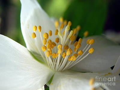 Photograph - Mock Orange #2 by Marcia Lee Jones