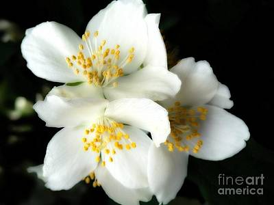 Photograph - Mock Orange #3 by Marcia Lee Jones