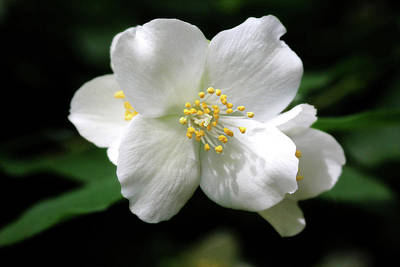 Photograph - Mock Orange Flowers by Trina Ansel