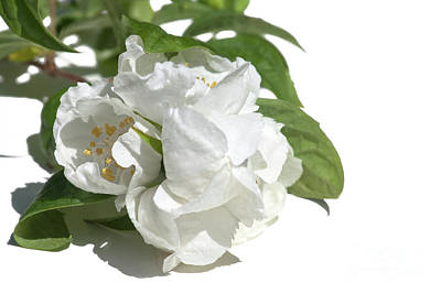 Photograph - Mock Orange by Terri Waters