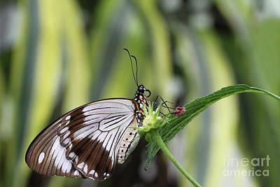 Animal Watercolors Juan Bosco - Mocker Swallowtail Butterfly #2 by Judy Whitton