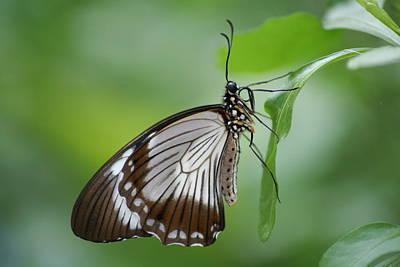 Mocker Swallowtail Art Print by Jeff VanDyke