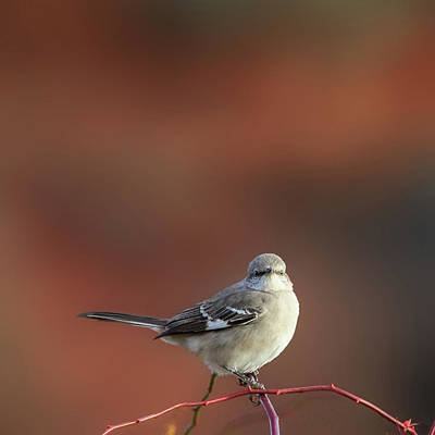Mocking Bird Morning Square Art Print by Bill Wakeley