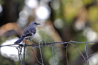 Mockingbird Digital Art - Mocking Bird On A Wire Fence by Roy Williams
