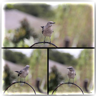 Photograph - Mockingbird 0349 by Ericamaxine Price