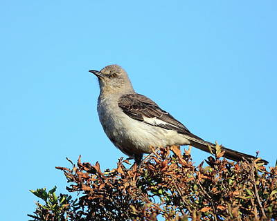 Photograph - Mockingbird . 7682 by Wingsdomain Art and Photography