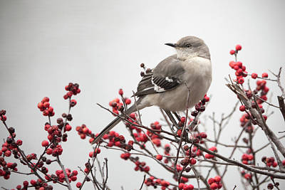 Photograph - Mockingbird And Berries by Jack Nevitt