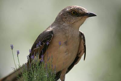 Photograph - Mockingbird And Lavender by Ericamaxine Price