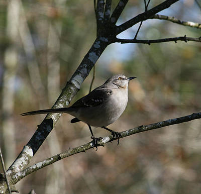 Photograph - Mockingbird by Cathy Harper