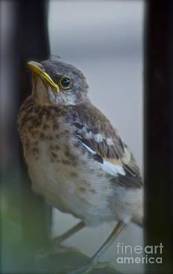 Baby Bird Photograph - Mockingbird Chick by Gwyn Newcombe