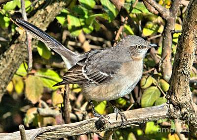 Photograph - Mockingbird by Debbie Stahre