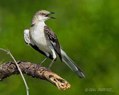 Photograph - Mockingbird by Don Durfee
