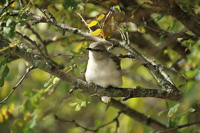 Photograph - Mockingbird by Gerald Salamone