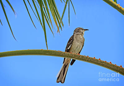 Photograph - Mockingbird In A Palm Tree by Robert Bales
