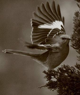 Mockingbird In A Pine Art Print