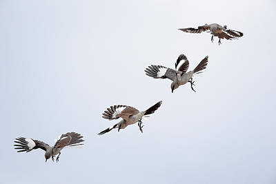Mockingbird Digital Art - Mockingbird In Air Sequence Topaz Simplify I by Linda Brody