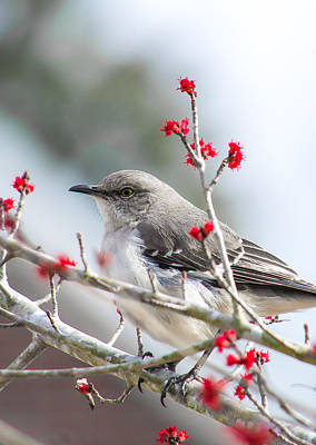Photograph - Mockingbird In The Blossoms by Shelby  Young