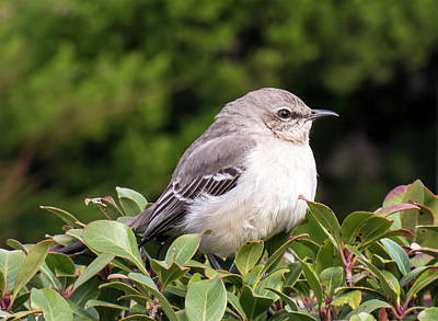 Photograph - Mockingbird by Leslie Montgomery