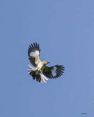 Photograph - Mockingbird Overhead by Allen Sheffield