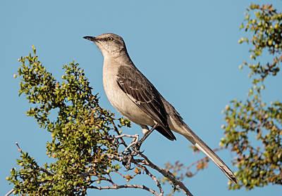 Photograph - Mockingbird Pose by Loree Johnson