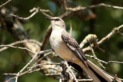 Art Print featuring the photograph Mockingbird  by Sheila Brown
